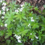 Madame&#8217;s Herbal: Sweet Woodruff